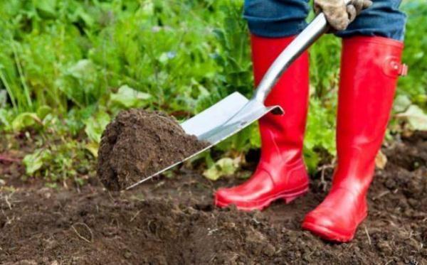 Перед посадкой смородины в грунт добавляют минеральные удобрения или компост
