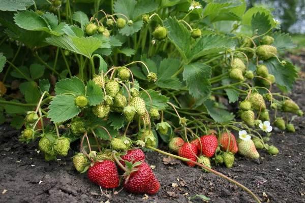 Кусты садовой земляники с зелеными и поспевшими ягодами