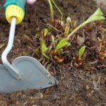 Рыхление почвы под кустами садовой земляники
