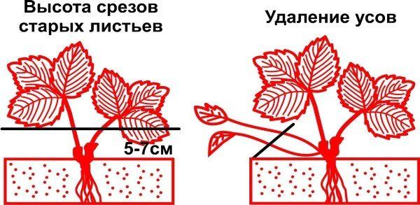 Схема среза старых листьев садовой земляники и усов