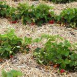 Мульчирование почвы под кустами садовой земляники соломой