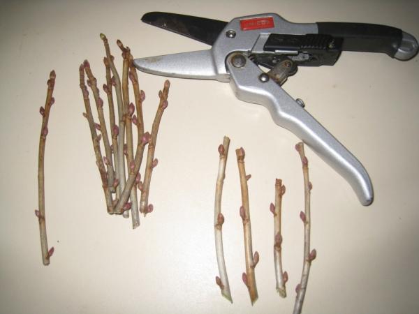 Размножение смородины черенкованием - процесс хлопотный, однако у него есть множество плюсов
