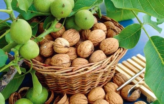 Только что собранный урожай грецкого ореха