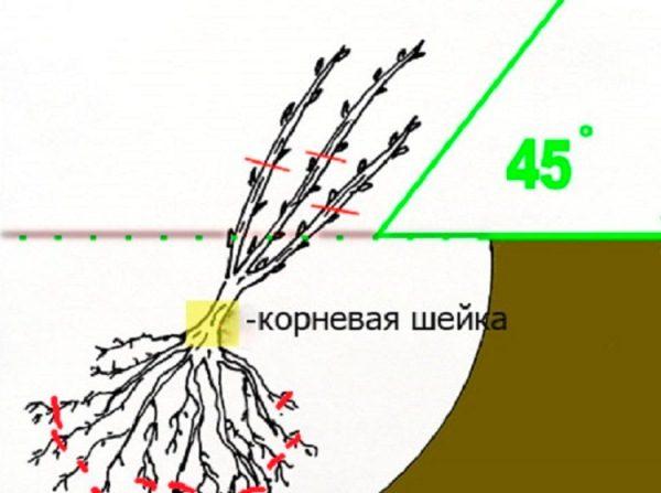 Схема правильной посадки куста смородины