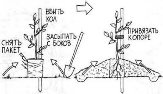 Схема посадки персикового дерева