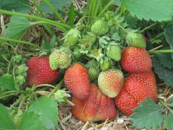 Куст земляники Елизавета 2 с зелёными ягодами
