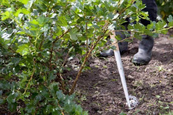 Процедуры ухода за крыжовником: полив и мульчирование