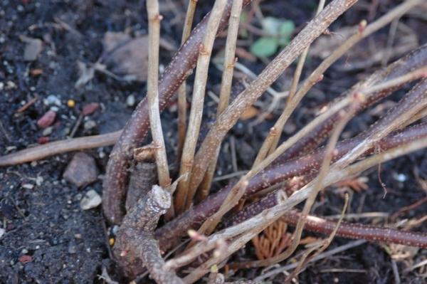Весенняя обрезка смородины позволяет повысить урожай текущего сезона и заложить основу на следующий год