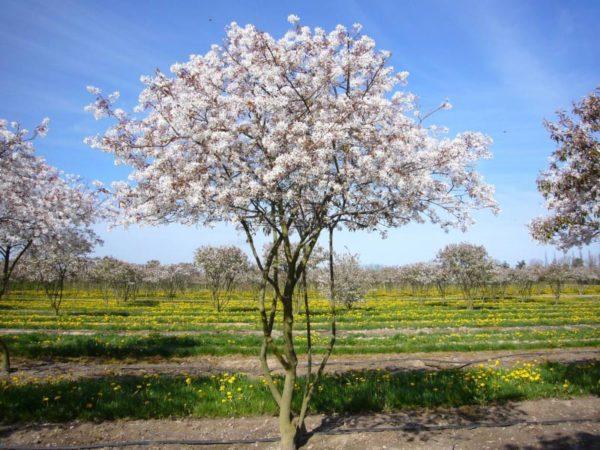 Цветение канадской ирги Ламарка