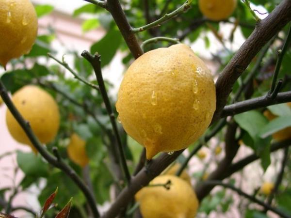 Сорта, которые подходят для выращивания в доме или квартире: Павловский, Мейера, Дженоа, Юбилейный, Пондероза