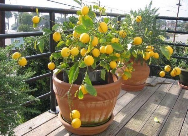 На лимон Мейера пагубно влияют сквозняки и перепад температур
