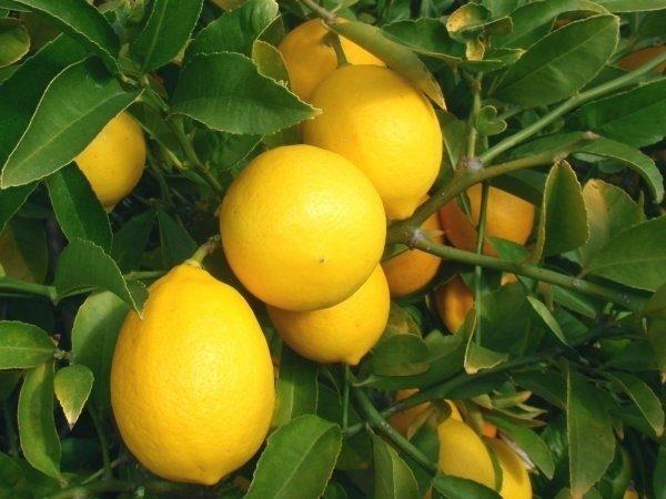 Лимон комнатный сорт Мейера