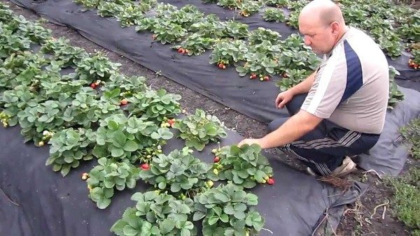 Выращивание земляники Елизавета 2 под пленкой