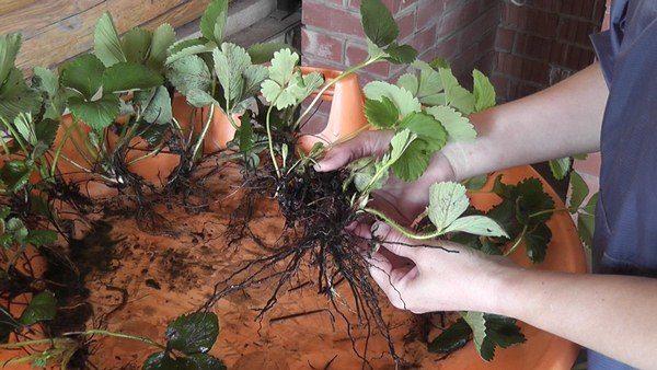 Размножение садовой земляники рожками