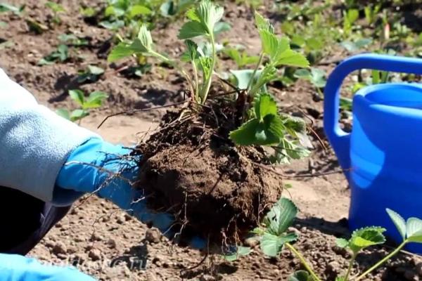 Чтобы пересадить садовую землянику, полейте ее, вырежьте лопатой ком земли я кустиком и перенесите на новое место