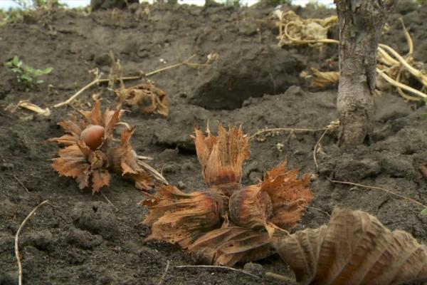 Застелите землю перед кустом покрывалом и хорошенько потрясите дерево, все спелые плоды упадут