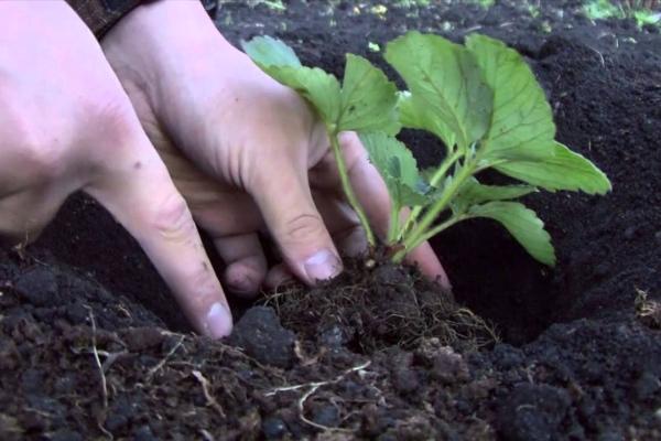 При посадке земляники под корень можно внести древесную золу - ее земляника очень любит