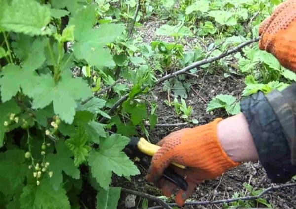 Необходимо очистить куст смородины: убрать сломанные и сухие ветки, срезать деформированные побеги, уничтожить больные ветки