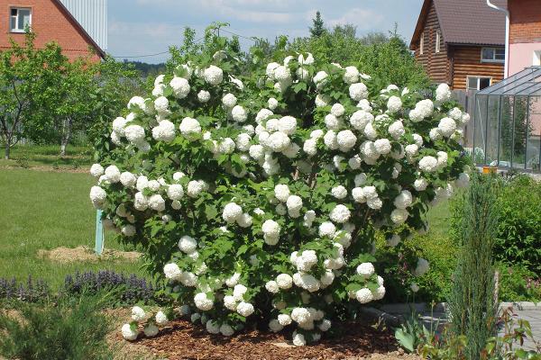 Калина Бульденеж в цвету