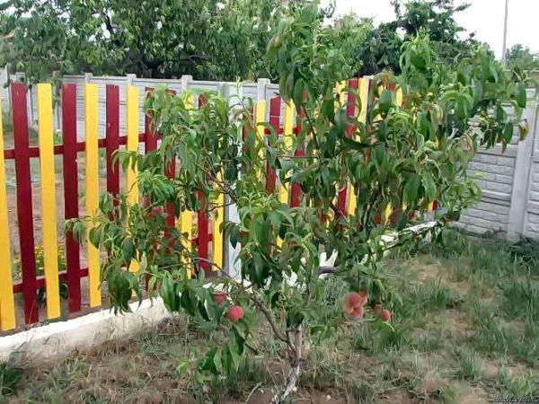 Молодое персиковое дерево на садовом участке