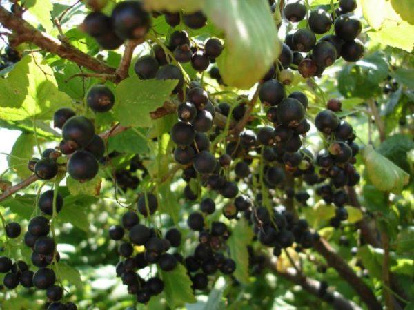 Сочные и спелые грозди черной смородины