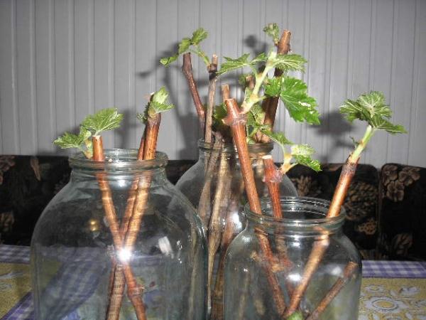 Размножение черной смородины зелеными и одресневевшими черенками летом и осенью