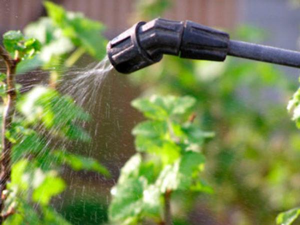 Распыление растворов над крыжовником против вредителей