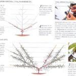 Формирующая обрезка инжирного персика веерная форма (1 год)