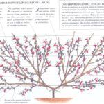 Сформированное веерное дерево инжирного персика, весна