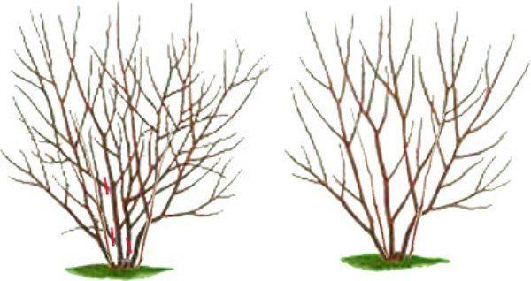 Схема обрезки и формирование куста ирги