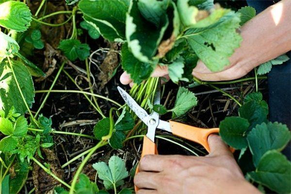 Обрезка листьев ремонтантной земляники осенью