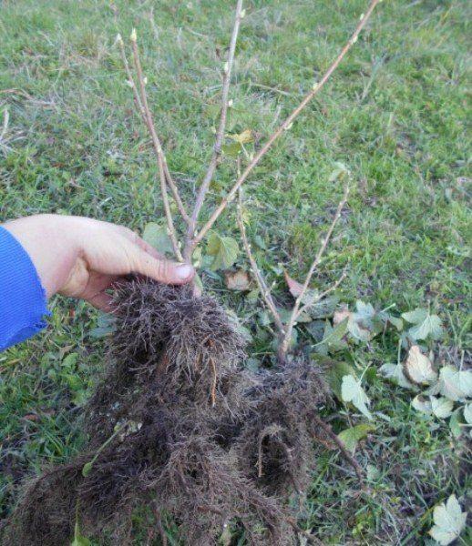 Ранняя осень - благоприятное время для посадки смородины