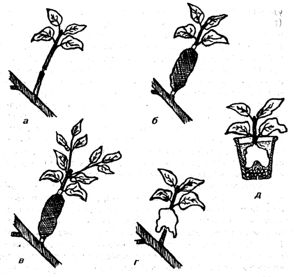 Схема копулировки лимона