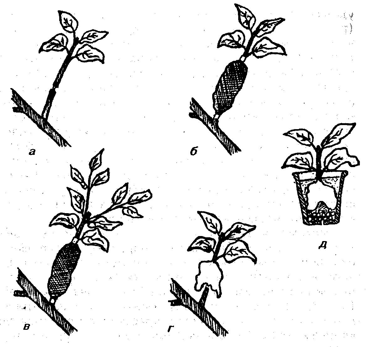 Как привить лимон в домашних условиях, чтобы он плодоносил 48