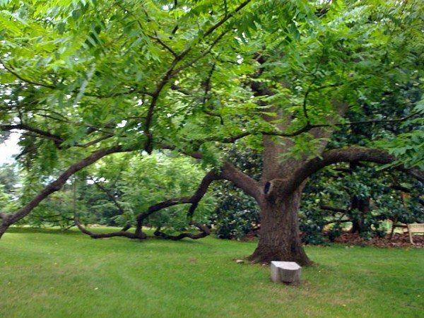 Черный орех - раскидистое дерево, высотой 40-50 м