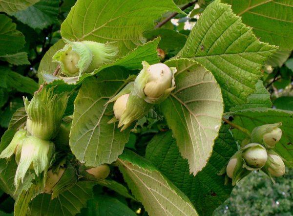 Завязывающиеся плоды лещины на ветках