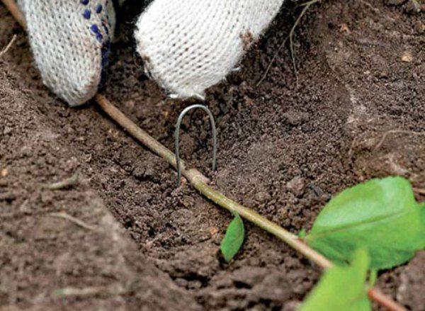 Для получения полноценного саженца голубики ветвь укладывают в борозду и закрепляют крючком