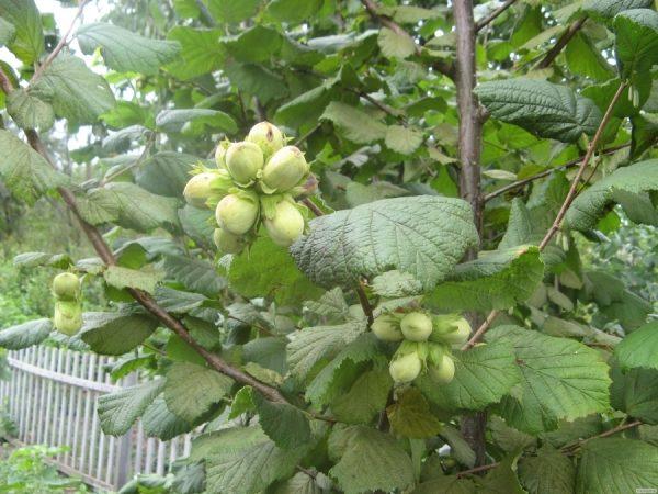 Зеленые плоды фундука на дереве