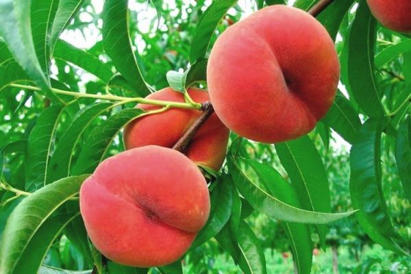 Выбирать персики для извлечения косточек нужно из районированных сортов, не с привитого дерева
