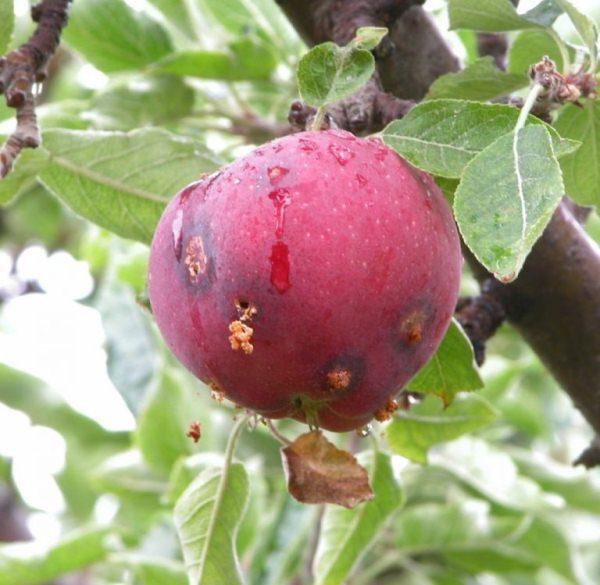 Плоды алычи Кубанская комета поражены сливовой плодожоркой