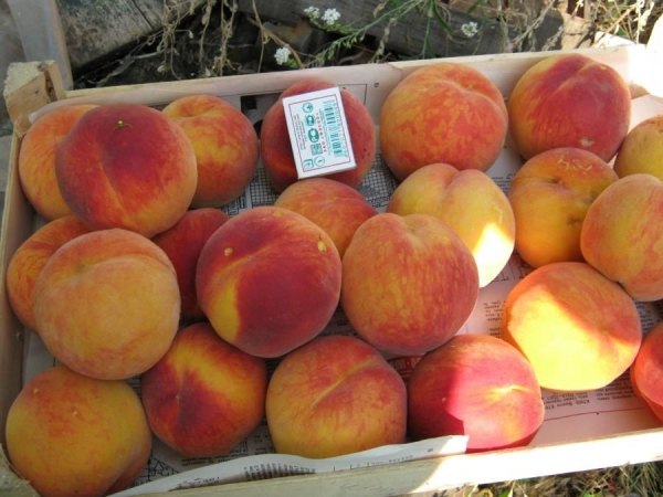 Самые лучшие ранние сорта персиков: Киевский Ранний, Белый Лебедь, Грисборо и Редхайвен, Мореттини