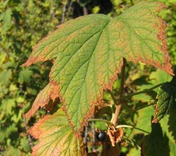 Причиной засыхания листьев на смородине являются инфекционные заболевания и насекомые-паразиты