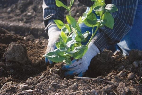 В первый год после посадки голубики достаточно использования минеральных удобрений, применяя их в начале весны