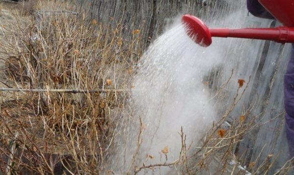 Для профилактики ветки смородины можно ошпаривать поздней осенью