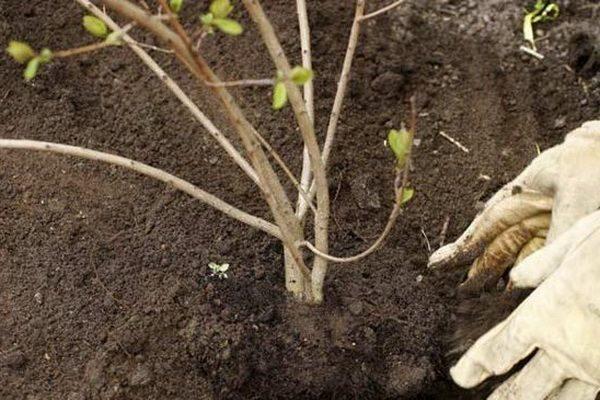 Для калины Гордовина предпочтительнее слабокислая почва и хорошее освещение