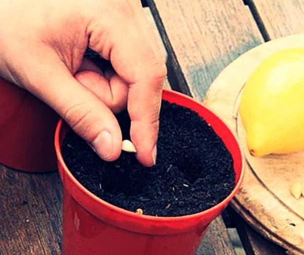 Выращивание лимона Мейера из семян