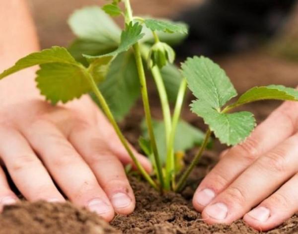 Посадка и пересадка земляники осенью: выбор места, сроков, уход за растениями
