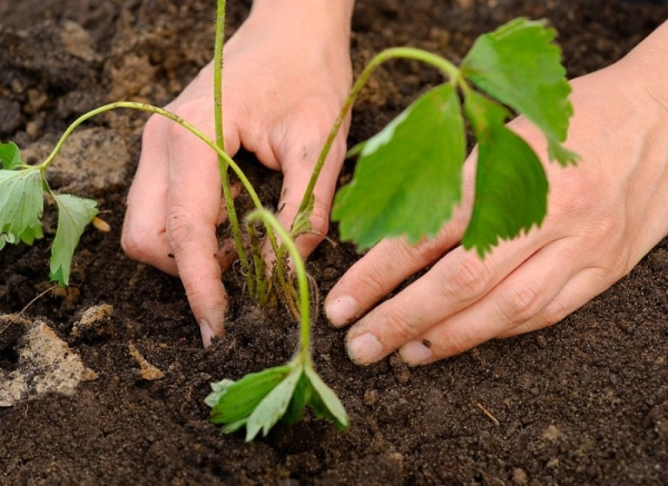 Высаживать землянику Гигантелла лучше в пасмурную погоду, на расстоянии 20 см друг от друга, сразу полить