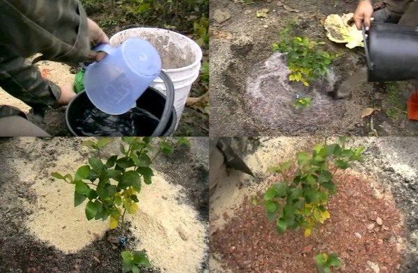 Для первого полива саженца голубики необходимо использовать подкисленную воду