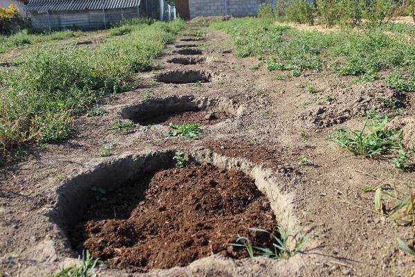 Перед посадкой голубики яму засыпают специальным подготовленным субстратом